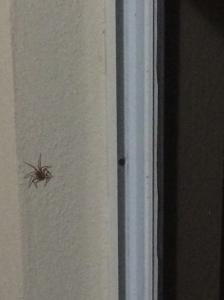Island Spider