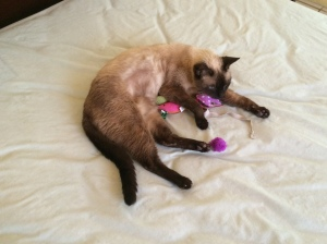 Siamese with toys